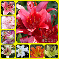 10 pieces/lot  Perfume lily bulbs lily flower bulbs seeds bonsai flowers plant     FREE SHIPPING