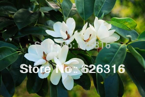 Карликовое дерево 30pcs/maudiae Michelia champaca DIY карликовое дерево seed 100 30pcs
