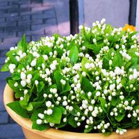 Bonsai flower plant four seasons white jasmine seedlings flower seeds kwei 50PCS/LOT Free shipping