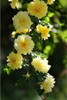 Free Shipping 50 pcs yellow climbing vines rose, great garden flower seeds