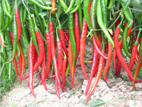 1 Pack 30 Seed Long Red Pepper Seeds Vegetable Seed Spicy C011