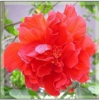 Multicolor mixed 150seeds Hibiscus seed more  varieties , HIBISCUS ROSA-SINENSIS seeds Free shipping