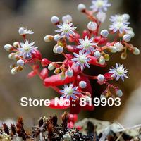 Succulent Sedum caeruleum cherry seeds  red in winter 20 pcs