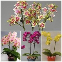 Phalaenopsis Sementes varanda bonsai sementes flor da orquídea pacote - 100 unidades sementes Phalaenopsis Orquídeas(China (Mainland))