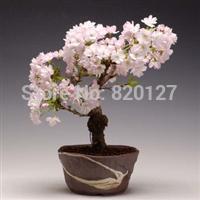 Mountain Sakura (prunus serrulata) Cherry Blossom Bonsai Flower seeds. 100 seeds/lot