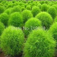 Kochia scoparia seeds 100 seeds