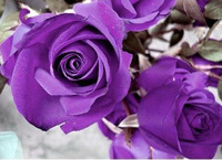 FREE SHIPPING 100 Seeds China Rare Purple Rose Flower To Your Lover / MG6-100