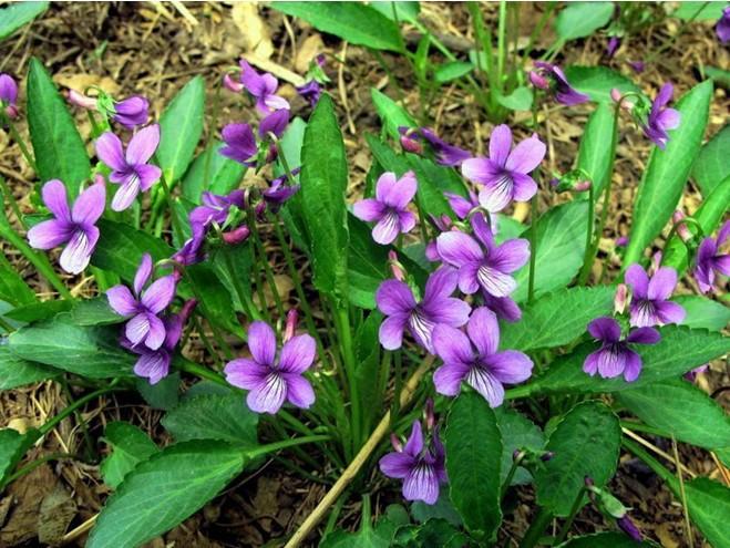 Philippine Violet Herb Seeds, Original bag 50pcs/bag ground cover plant Flower seeds, Easy Grow herba violae(China (Mainland))