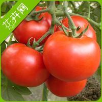 1 Packs 30 Seeds, Red Big Tomato Seeds