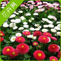1 Packs 50 Daisy Flower Seeds,Bellis Perennis Seed