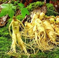30 Seeds Chinese hardy Panax Ginseng Korea Ginseng Seeds,30 seeds/lot Rare medicinal herbs seeds