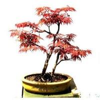 20 pcs/lot GARDEN BONSAI TREE SEED Hong Fengshu tree seeds , pinus seeds Potted Land free shipping