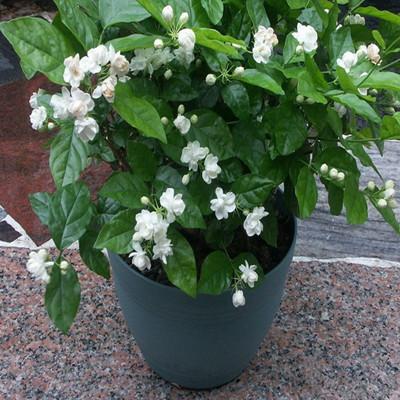 Flowering Plant of Jasmine Flowers Plants