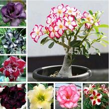 Desert Rose sementes 50 pcs Adenium obesum sementes misturadas plantio é simples brotamento taxa de 100%(China (Mainland))