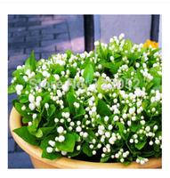 Jasmine seeds, perennial woody white jasmine seeds, rich aroma, 50pcs