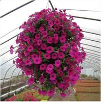 Free shipping Petunia seeds shuttlecock flower horn sweet potato flower bonsai flowers seeds - 50pcs