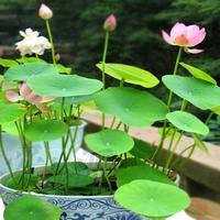 10 pcs Many colors bonsai bowl lotus flower seeds outdoor indoor plants bonsai Lotus fruits seeds  Free Shipping   H01