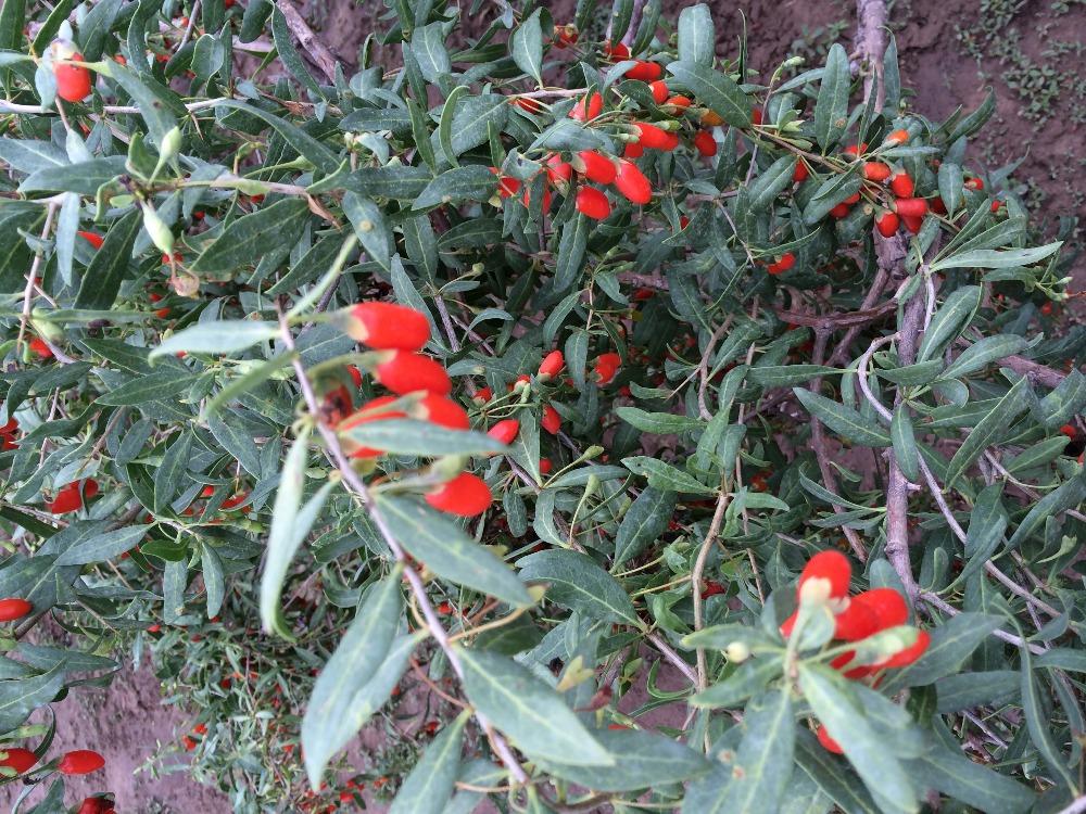Free shipping 500g Organic Fructus Lycii Matrimony Vine Herbal Food Ningxia Super Medlar free shipping