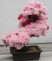 Promotion 10pcs sakura seeds bonsai flower Seed Cherry Seeds easy to plant DIY home garden free shipping