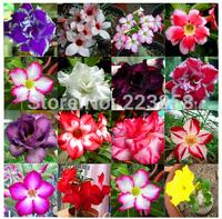 50  pcs/lot,Desert Rose  seeds ,Adenium obesum,potted plants, planting seasons, flowering plants