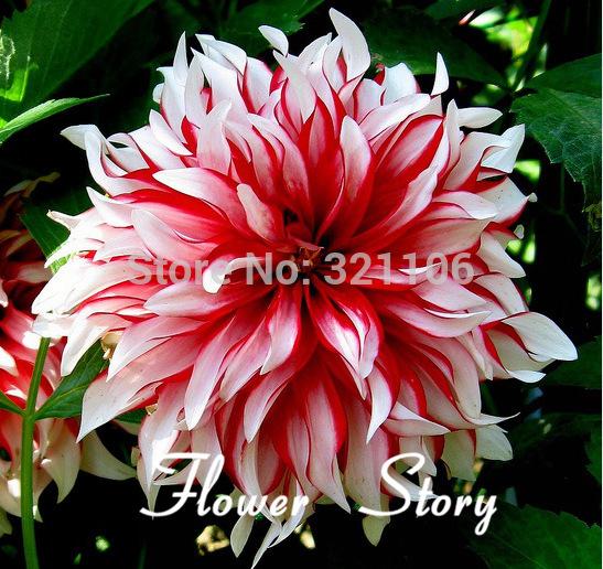 100Dahlia -Santa Claus Dahlia Seeds(Santa Claus Dinner Plate), DIY Home Garden Plant ,decorative flower, Free Shipping(China (Mainland))
