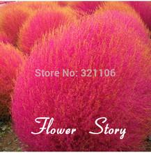 50 Kochia scoparia graines graines, Burning Bush herbe, Rapide cultivez hardy, Été Cypress(China (Mainland))