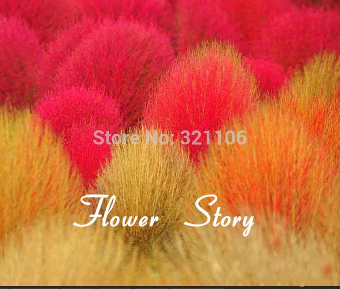 50 Kochia scoparia seeds seeds Burning Bush Grass Rapid Grow Hardy Summer Cypress