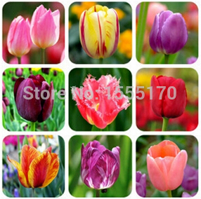 100pcs / bag 25 varieties of tulip petals tulip seeds potted indoor and outdoor potted plants purify the air mixing colors(China (Mainland))