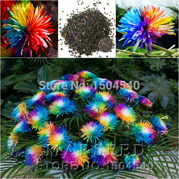 Free Shipping 20 Rainbow Chrysanthemum Flower Seeds, rare color ,new arrival DIY Home Garden flower plant(China (Mainland))