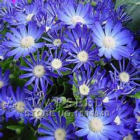 Free Shipping 50 Blue Daisy English species easiest growing flower hardy plants flower seeds exotic ornamental