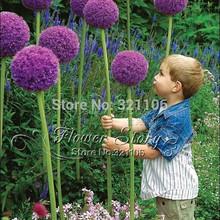 20 Giant Allium  Globemaster Allium Giganteum Flower Seeds~organic gorgeous flower , Easy growing,long blossoming