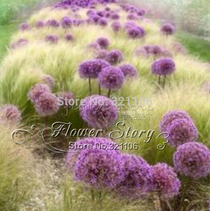 20 Giant Allium Globemaster Allium Giganteum Flower Seeds organic gorgeous flower Easy growing long blossoming