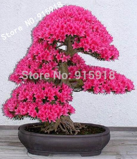 Bonsai Tree japanese sakura seeds 10pcs ,bonsai flower Cherry Blossoms free shipping(China (Mainland))