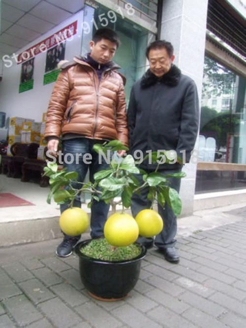 Bonsai Fruit seeds 10pcs Hardy Mini Pummello Pomelo Pomello tree Dwarf kao Pan Grape fruit! Rare(China (Mainland))