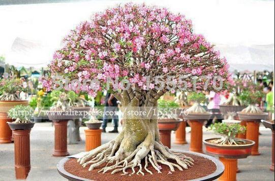 Authentic Adenium obesum Seeds Flower pots planters rainbow desert rose seeds Bonsai plants Seeds for home & garden 5 seeds/bag(China (Mainland))