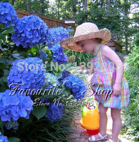 10 Blue Hydrangea Flower seeds,Charming color ,lasting,gorgeous balcony or yard flower plant(China (Mainland))