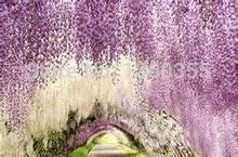 5pcs/bag wisteria flower seeds,wisteria flower,chinese wisteria bonsai white sky blue pink yellow purple free shipping