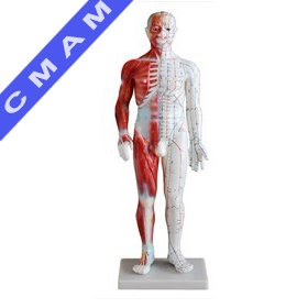Z518A, Acupuncture & Muscle Model 60cm Male ,Acupuncture Models,Full body wich half muscle anatomy(China (Mainland))