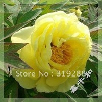 "10pcs/bag yellow Peony ""HaiHuang"" flower Seeds DIY Home Garden"