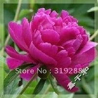 "10pcs/bag red Peony  ""JiaLanDanSha"" flower Seeds DIY Home Garden"