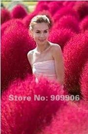 KOCHIA SCOPARIA GRASS *SHOWY* E~Z GROW*RAPID*EXOTIC*100pcs/lot  SEEDS *