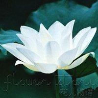FREE SHIPPING 20 SEEDS Snow White Lotus Seeds Gorgeous Lotus Aquatic Plants Label: Lotus4