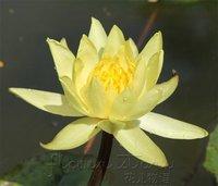 FREE SHIPPING 20 SEEDS Yellow Lady Lotus Flower Seeds Gorgeous Lotus Aquatic Label: Lotus22