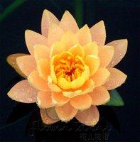 FREE SHIPPING 20 SEEDS Citrine Orange Lotus Flower Seeds Gorgeous Aquatic Plants Label: Lotus19