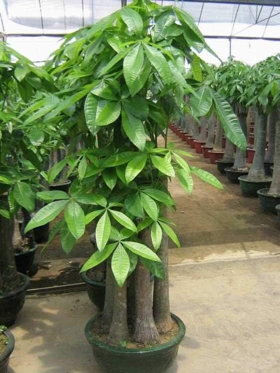 Pachira macrocarpa bonsai alberi di denaro alberi vivi for Piante decorative