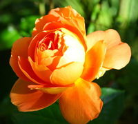 FREE SHIPPING 100 Seeds China Rare Orange Rose Flower To Your Lover / MG13-100