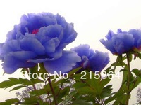 FREE SHIPPING 100 Seeds Chinese Rare Blue Peony Flower Seeds Beautiful lovely HOT PEONY / P3-100