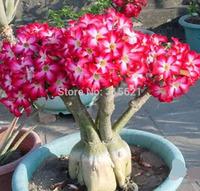 New Coming White Star Point Adenium obesum Desert Rose Seeds Flower Seeds Gardening Beautiful Bonsai Plant 20 PCS Free Shipping
