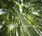 Wholesale - Huge 10000+seeds Giant Phyllostachys pubescens moso bamboo seeds hardy -4 Giant