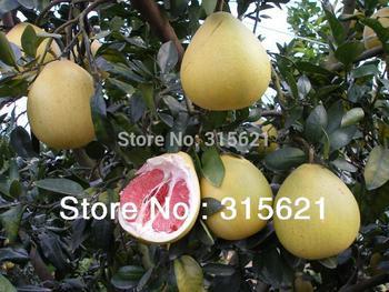 Pomelo vermelho sementes da árvore de toranja Shaddock grande gosto fruto da semente 30 pcs para Orchard jardinagem grátis frete